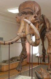 Уникальным экспонатом, почти визитной карточкой музея, является сборный скелет мамонта, смонтированный в 1929 году.