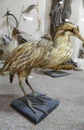 Чучело птицы выпь большая (Botaurus stellaris).